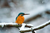 Kingfisher (Alcedo atthis). Guadarrama, Madrid, Spain