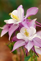 columbine _ blossoms