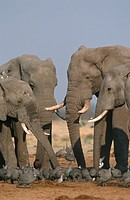 African Elephant Loxodonta africana bulls with a flock of Turtle doves Streptopelia turtur and Guinea Fowls Numida meleagris in Savute, Chobe National...