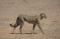 Cheetah Acinonyx jubatus young walking, Mata Mata, Kgalagadi Transfrontier Park, South Africa
