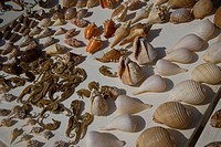 SEA HORSES & SHELLS for Sale, West Bay, Bay Island, Honduras Carribean Ocean