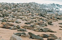 South African Fur Seals colony, Cape Cross, Namibia Arctocephalus pusillus