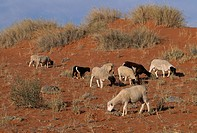 GOATS grazing, Kalahari. Livestock farming causes overgrazing and desertification in the Kalahari Desert