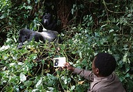 MOUNTAIN GORILLA Gorilla beringei berengei being identified by park guard who is monitoring population. Virunga National Park