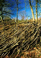 Hazel Deer Fence round newly_coppiced area Anti_deer. Garston wood. Dorset