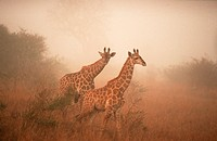 Giraffes in morning haze, Kruger national park, South Africa / (Giraffa camelopardalis)