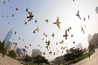 Flocks of pigeon flying at Zhongshan Square Park, Dalian, China Dalian China