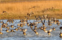 Wigeon (Anas penelope), small group flying up from water, Norfolk, England, UK, December