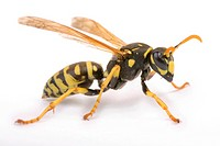 Yellow Paper Wasp (Polistes dominulus)