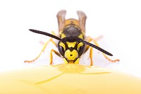 German wasp Vespula germanica eating honey