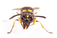 Potter Wasp (Euodynerus)