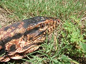 Portrait of a Red Tegu (Tupinambis rufescens ), Gran Chaco Paraguay