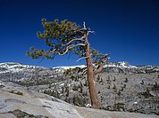 Bristlecone Pine, Olmsted Point, Yosemite NP, California, USA