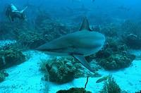 Roatan, Tubarão Cinza, Diver, Honduras, Caribe