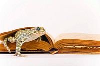 European green toad (Bufo viridis) in front of a book