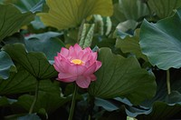 The Flower Of A Lotus