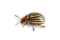 Colorado potato beetle Leptinotarsa decemlineata