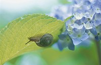 A Hydrangea And A Land Snail