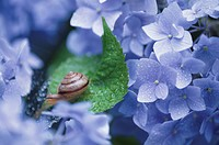 Snail On Hydrangea