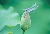 A Dragonfly On Lotus