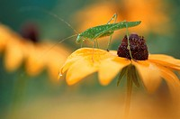 Katydid On Yellow Flower