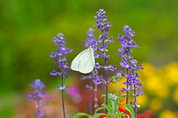Salvia And A Butterfly