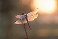 Dragonfly And The Morning Sun
