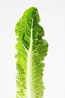 Single Romaine lettuce leaf close_up