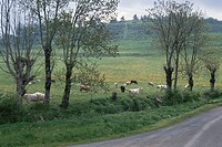 Cow Of An Alley And A Pasture In Germany (thumbnail)