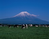 Mount Fuji Behind Cows