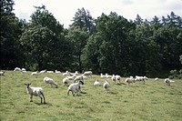 Sheep In Britain
