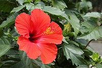 The Flower Of A Hibiscus