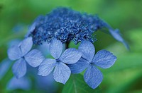 The Flower Of A Hydrangea