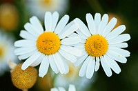 Two Flowers Of Daisy