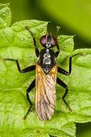 Hoverflies (Syrphidae) (Platycheirus clypeatus)