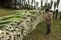 Man counting Sisal leaves, sisal harvest, prdoction of Sisal fibres, Casarpamba, province Imbabura, Ecuador, Agave sisalana