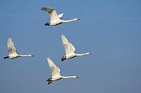 Whooper Swans, Lower Saxony, Germany, Cygnus cygnus, side