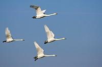 Whooper Swans, Lower Saxony, Germany, Cygnus cygnus, side