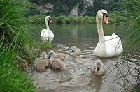 Mute Swans ( Cygnus olor) with chicks