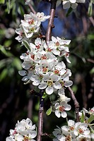 Blooming willow leafed pear Pyrus salicifolia Pendula