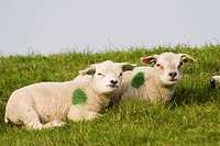 Two lambs lying at the bank