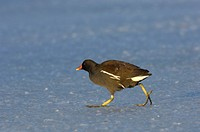 Gallinule (Gallinula chloropus) walking on frozen lake
