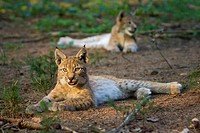 Two European lynxes are relaxing (Lynx lynx) Bavaria, Germany
