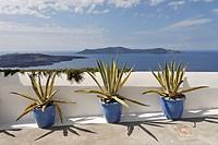 Agaves (cultivars of agave americana) in three buckets, Thira, Santorini, Greece