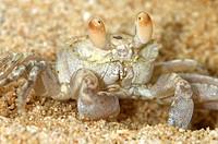 Ghost crab, Sand crab, Ocypode spec., Mauritius