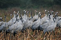 Troop of cranes, (grus grus), national park Vorpommersche Boddenlandschaft, Mecklenburg Vorpommern, Germany