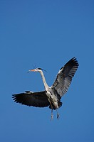 Grey Heron (Ardea cinerea) flying with nesting material