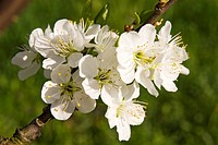 Blossoms of sweet cherry tree (Prunus avium)