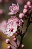 Cherry plum blossoms (Prunus cerasifera 'Nigra')