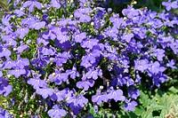 Flowers of lobelia erinus, Campanulaceae